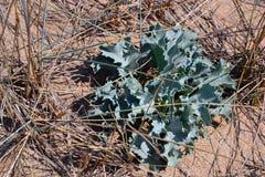 在沙子的中多刺的植物 免版税库存照片