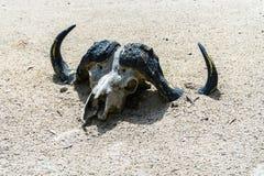 在沙子的动物头骨 免版税库存照片
