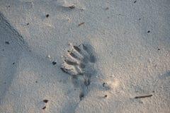 在沙子的动物脚印刷品 库存照片