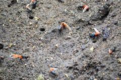在沙子的单手螃蟹 图库摄影