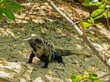 在沙子的大鬣鳞蜥 图库摄影