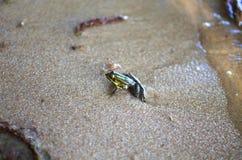 在沙子的小的青蛙在海海滩 沙子背景 Amphi 图库摄影