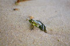 在沙子的小的青蛙在海海滩 沙子背景 Amphi 免版税库存图片