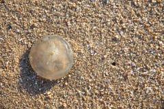 在沙子的小的水母 库存照片