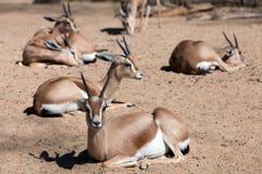 在沙子的少量瞪羚 免版税库存图片
