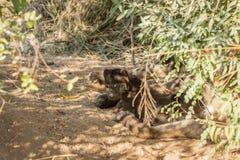 在沙子的微小的被察觉的鬣狗小狗 免版税图库摄影