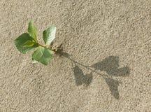 在沙子的新芽 免版税库存图片