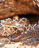 在沙子的有毒南美响尾蛇 免版税库存图片