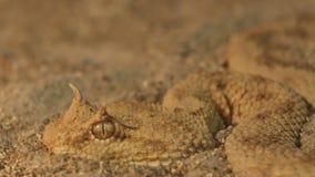 在沙子的有角的蛇蝎 股票视频