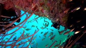 在沙子的橙色丑角鬼魂杨枝鱼Solenostomus paradoxus在祖鲁族人海朗芒芽地 股票录像