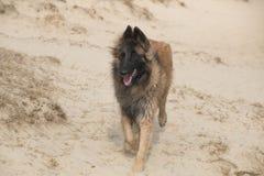 在沙子的比利时牧羊人特尔菲伦狗 库存图片