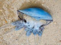 在沙子的水母 免版税库存照片