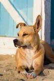 在沙子的流浪狗 库存照片