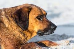 在沙子的流浪狗 免版税库存图片