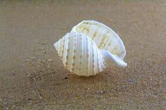 在沙子的海壳 库存图片