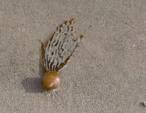 在沙子的海带海草在海滩 免版税库存图片