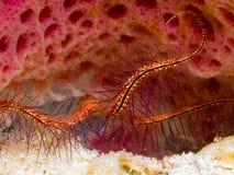 在沙子的海蛇尾在花瓶海绵里面 免版税库存照片