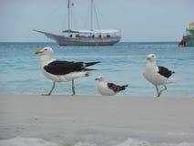 在沙子的海鸥立场, Prainhas做Pontal海滩, Arraial做Cabo 免版税库存照片
