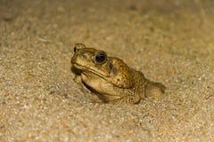 在沙子的海洋蟾蜍 库存照片
