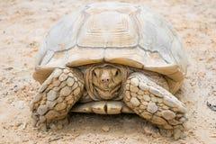 在沙子的特写镜头白色乌龟 免版税库存图片