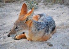 狐狼休息 库存图片