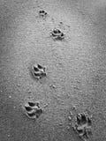 在沙子的狗脚步 免版税库存照片
