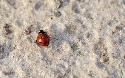 在沙子的瓢虫 免版税库存照片