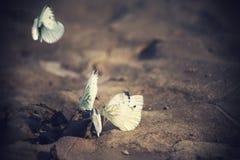 在沙子的白色蝴蝶 库存照片