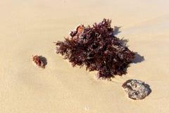 在沙子的红色海草 免版税图库摄影