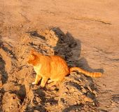 在沙子的红色猫 库存图片
