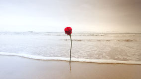 在沙子的红色玫瑰 库存照片