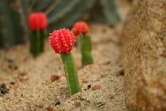 在沙子的红色仙人掌 图库摄影