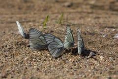 在沙子的纹白蝶 库存照片