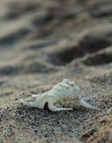 在沙子的美丽的大贝壳 图库摄影
