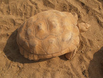 在沙子的老巨型乌龟 图库摄影