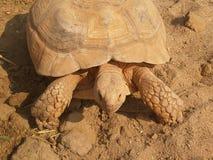 在沙子的老巨型乌龟 库存照片