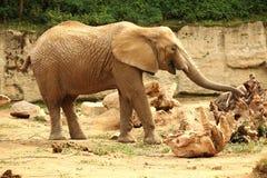 在沙子的老非洲大象女性身分和摸索与tr 免版税库存照片