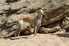 在沙子的英国灵狮 免版税库存照片