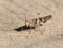 在沙子的蚂蚱 库存照片