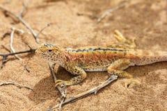 在沙子的蜥蜴在戈壁,中国 免版税库存照片