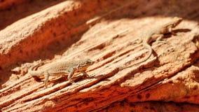 在沙子的蜥蜴在沙漠 免版税库存图片