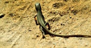 在沙子的蜥蜴 免版税库存图片