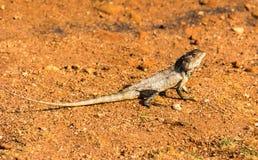 在沙子的蜥蜴 库存照片