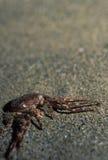 在沙子的螃蟹 图库摄影
