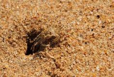 在沙子的螃蟹 库存照片