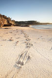 在沙子的袋鼠印刷品 免版税库存照片