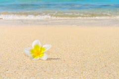 在沙子的赤素馨花花 免版税库存图片
