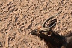 在沙子的野生生物垫铁 免版税库存图片