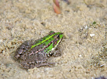 在沙子的青蛙 库存照片