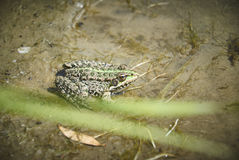 在沙子的青蛙 图库摄影